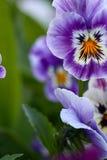 Flor roxa da mola em um jardim Imagens de Stock