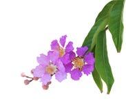Flor roxa da murta de crepe Fotografia de Stock Royalty Free