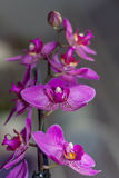 Flor roxa da orquídea Fotografia de Stock