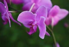 Flor roxa da orquídea Fotos de Stock Royalty Free