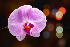Flor roxa da orquídea em um fundo escuro com destaques do bokeh Flor da orqu?dea do Phalaenopsis imagens de stock