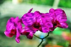 Flor roxa da orquídea da lua foto de stock royalty free