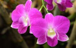 Flor roxa da orquídea no parque da nação Fotos de Stock
