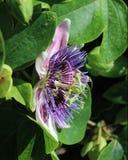 Flor roxa da paixão Imagem de Stock Royalty Free