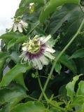 Flor roxa da paixão do gambá Foto de Stock Royalty Free
