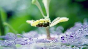 Flor roxa da paixão e uma abelha verde metálica Fotografia de Stock Royalty Free