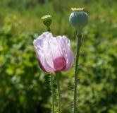 Flor roxa da papoila Fotos de Stock Royalty Free