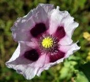 Flor roxa da papoila Imagens de Stock