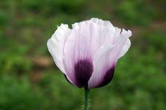 Flor roxa da papoila Foto de Stock Royalty Free