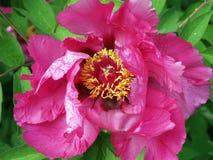 Flor roxa da peônia Fotos de Stock Royalty Free
