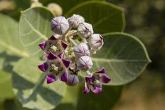 Flor roxa de Bush de borracha foto de stock