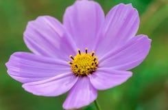 Flor roxa de Cosmo fotos de stock royalty free