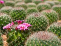 Flor roxa de florescência bonita do cacto Foto de Stock