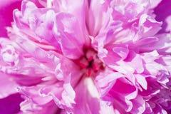 Flor roxa de florescência da peônia. Imagens de Stock Royalty Free