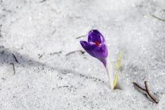 Flor roxa de florescência do açafrão na neve Imagem de Stock