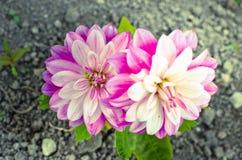 Flor roxa de um áster na mola Fotografia de Stock
