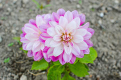 Flor roxa de um áster na mola Imagens de Stock Royalty Free