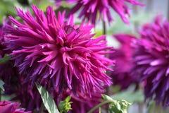 Flor roxa de uma dália do cacto imagem de stock