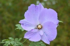 Flor roxa delicada com fundo verde desvanecido da folha Imagem de Stock Royalty Free
