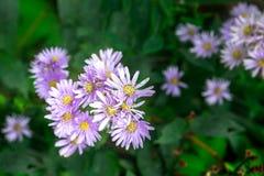 Flor roxa do áster da alfazema com o botão dourado do centro e para borrar profundamente - o fundo verde das folhas imagem de stock