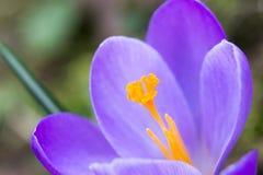 Flor roxa do açafrão Foto de Stock Royalty Free