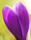 Flor roxa do açafrão Imagem de Stock