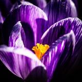 Flor roxa do açafrão Fotos de Stock
