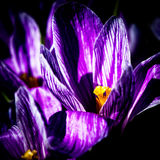 Flor roxa do açafrão Imagens de Stock Royalty Free
