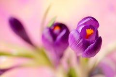 Flor roxa do açafrão, açafrão da flor da mola como um fundo Foto de Stock Royalty Free