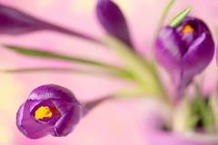 Flor roxa do açafrão, açafrão da flor da mola como um fundo Imagens de Stock
