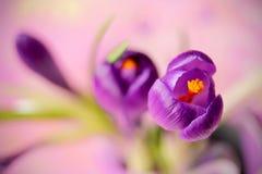 Flor roxa do açafrão, açafrão da flor da mola como um fundo Fotografia de Stock