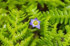 Flor roxa do açafrão com gotas da água Imagem de Stock Royalty Free