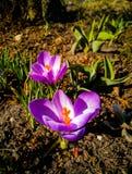 Flor roxa do açafrão na primavera 3 do jardim Fotos de Stock Royalty Free