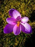 Flor roxa do açafrão na primavera do jardim Imagens de Stock