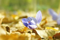 A flor roxa do açafrão no amarelo sae fora Imagem de Stock Royalty Free