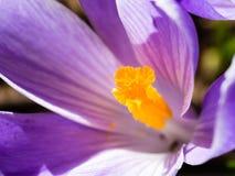 Flor roxa do açafrão que floresce na mola Foto de Stock