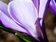 Flor roxa do açafrão que floresce na mola Fotografia de Stock Royalty Free