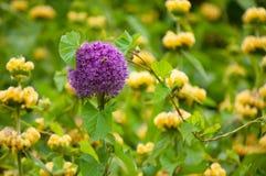 Flor roxa do Allium imagem de stock