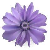 Flor roxa do Anemone Ilustração realística do vetor Fotos de Stock Royalty Free