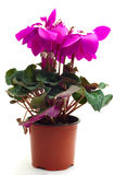 Flor roxa do cíclame Imagem de Stock