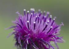Flor roxa do campo fotos de stock
