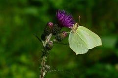 Flor roxa do cardo com uma borboleta em uma manhã do verão Fotografia de Stock