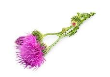 Flor roxa do carduus com botão verde Imagens de Stock