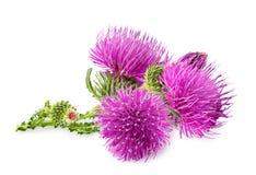 Flor roxa do carduus com botão verde Fotos de Stock Royalty Free