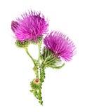 Flor roxa do carduus com botão verde Foto de Stock