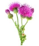Flor roxa do carduus com botão verde Fotografia de Stock Royalty Free