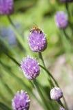 Flor roxa do cebolinho de Beeon do mel Imagens de Stock