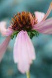 Flor roxa do cone Fotos de Stock Royalty Free