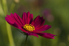 Flor roxa do cosmos Foto de Stock