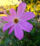 Flor roxa do cosmos com fundo borrado fotografia de stock royalty free